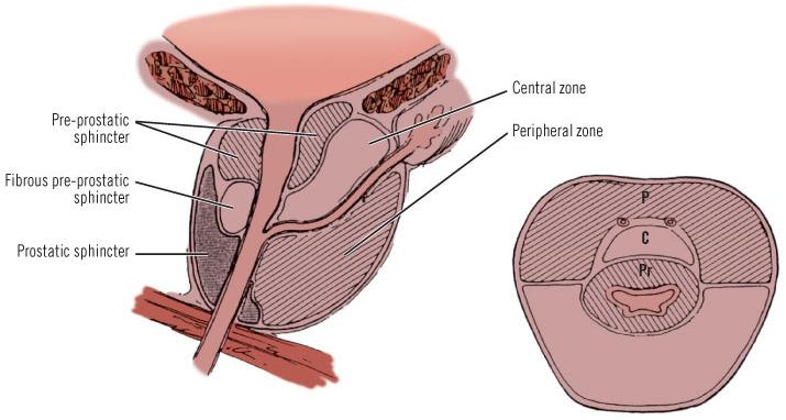 Cấu trúc cắt dọc và cắt ngang của tuyến tiền liệt