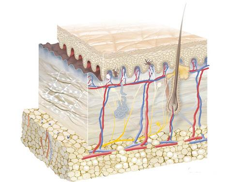 ấu tạo của da mặt là lỗ chân lông kết nối với các tuyến dầu dưới da